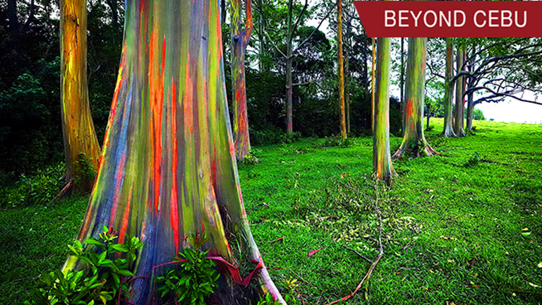 These colorful rainbow trees can be found in the Philippines!